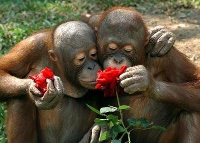 cuddling-orangutans-sniffing-flowers1