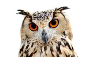 owl-590x370